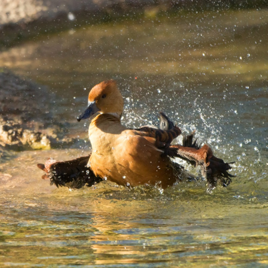 ... Fulvous Whistling Ducks ...