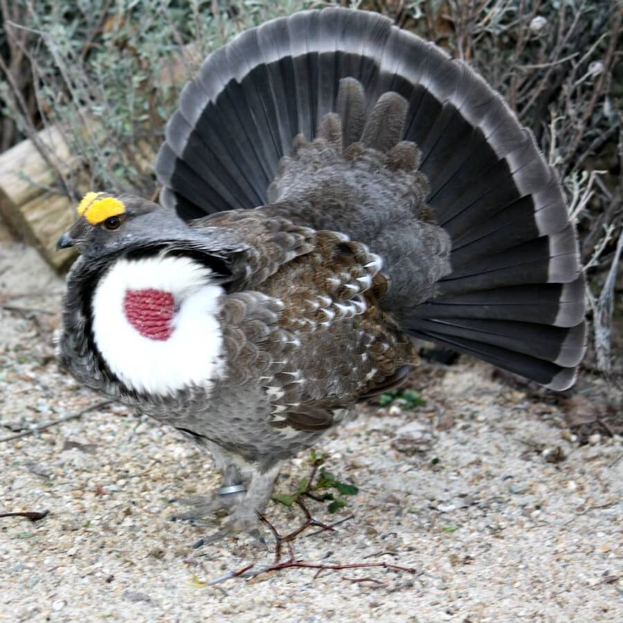 Dusky Blue Grouse