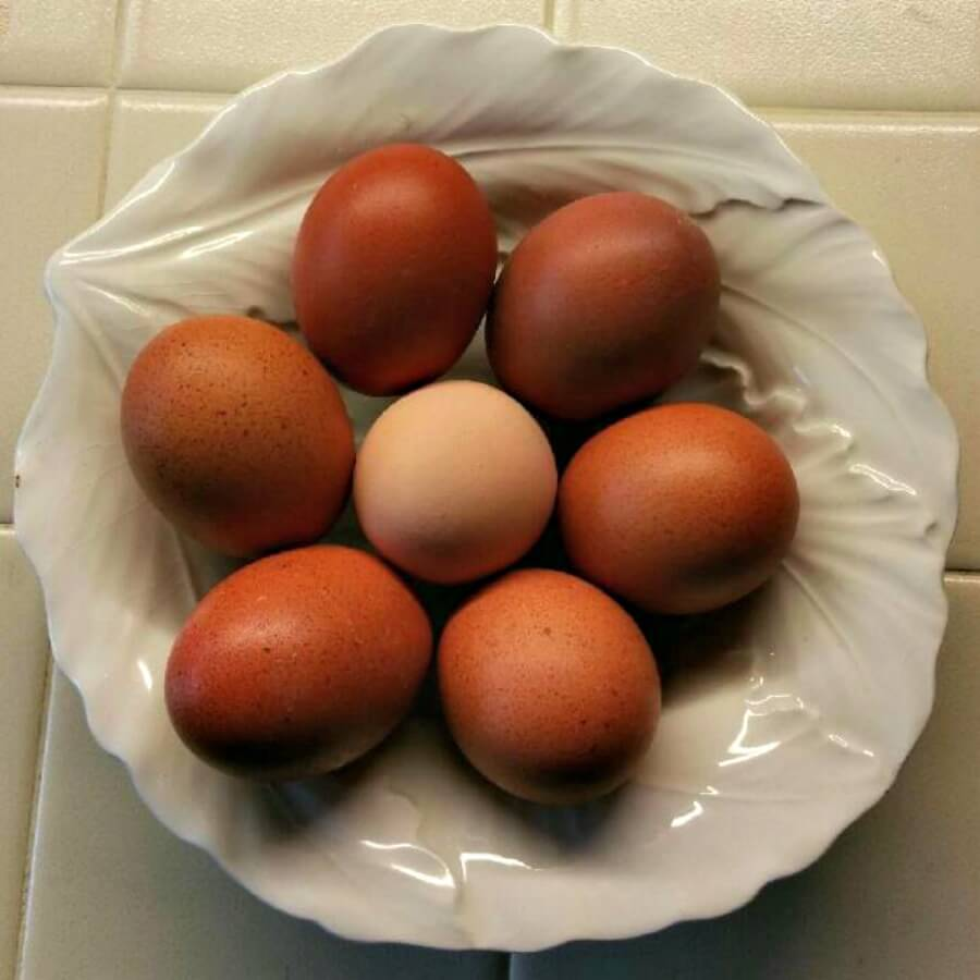 Dark Brown Egg Layer Chicks for Sale
