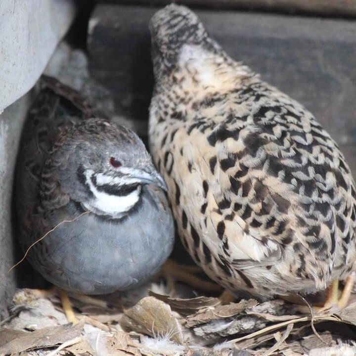 button quail hatching eggs Multiple Colors 12 Eggs