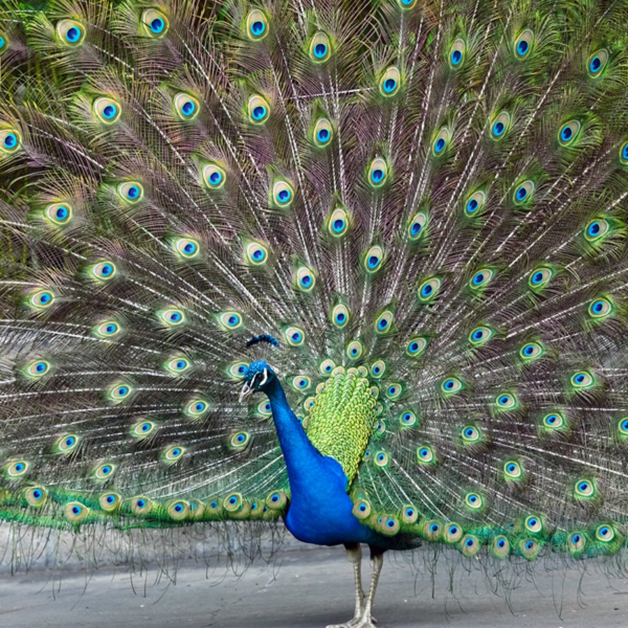 indian peafowl photos and - photo #16