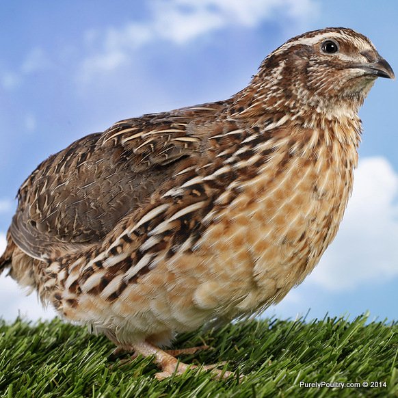 Jumbo coturnix quail - photo#5