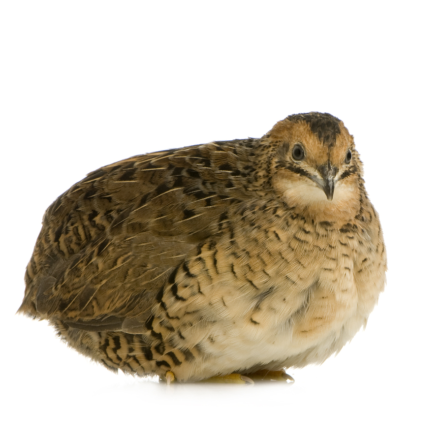 Jumbo coturnix quail - photo#7