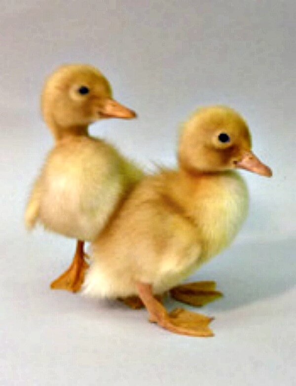 Image result for ducklings