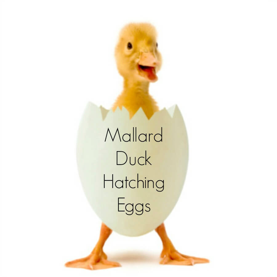 mallard duck hatching eggs for sale