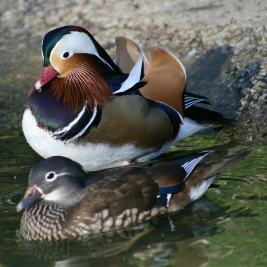 ... Mandarin Ducks; Mandarin Ducks