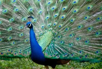 Peafowl | Peahens | Peacocks
