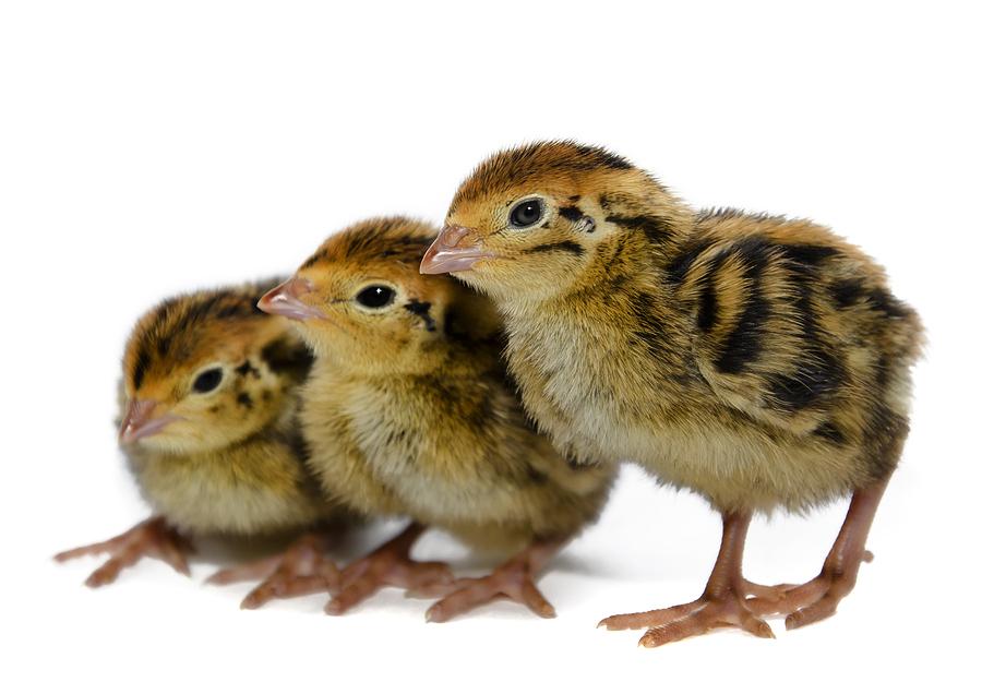 Quail | Quail Chicks