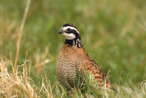 Northern Bobwhite Quail Chicks
