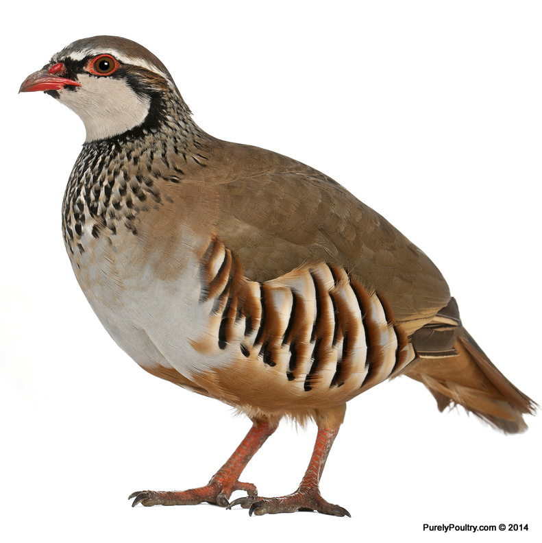 French Red Legged Partridge