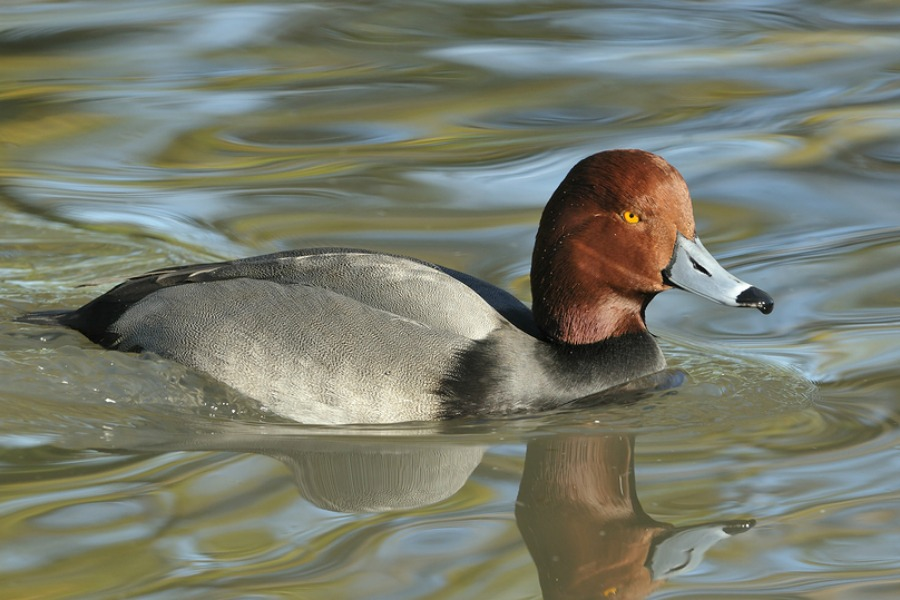 Mature redhead duck