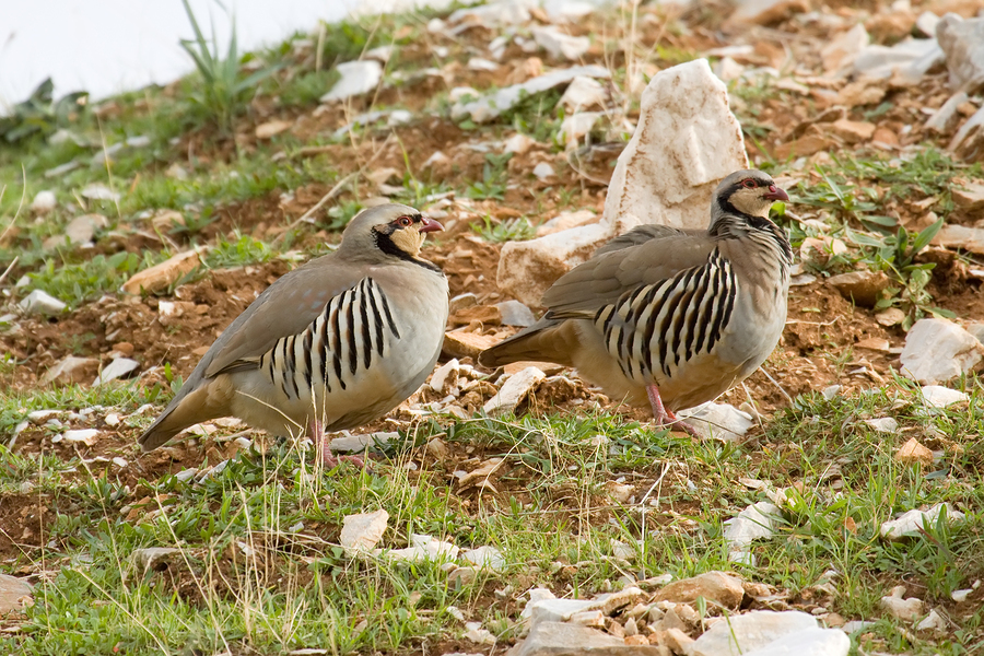 Chukar Redleg Partridge Chicks