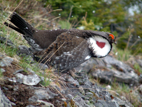 Sooty Blue Grouse