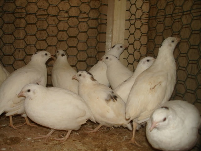 Image result for quail breeds