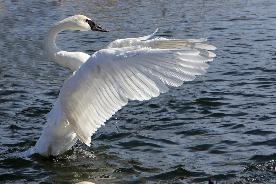 Trumpeter Swans for sa...