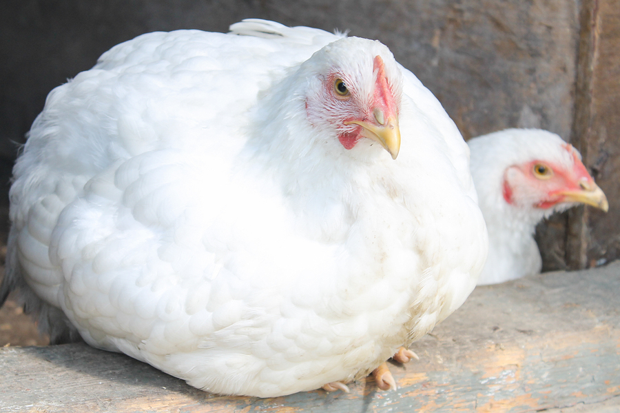 White Broilers