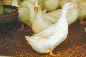 White Layer Ducklings