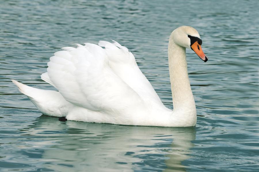 white mute swans cygnus olor